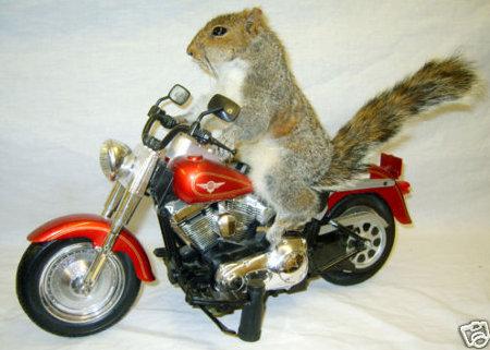 squirrel-on-motorcycle.jpg